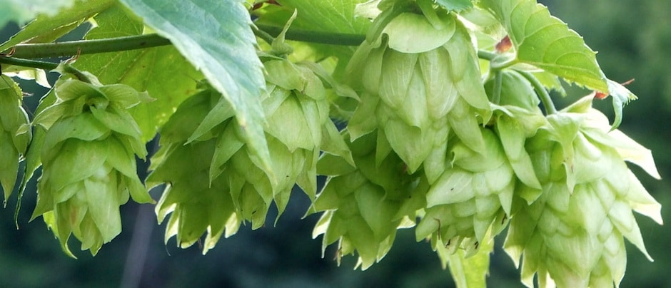 Did you know hops